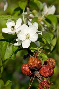 Blossom to Fruit, MN Landscape Arboretum