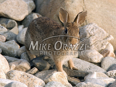 ©MikeOrazzi I know, it is a bunny. He was hopping around on the beach at Point Judith in Narragansett, Rhode Island.