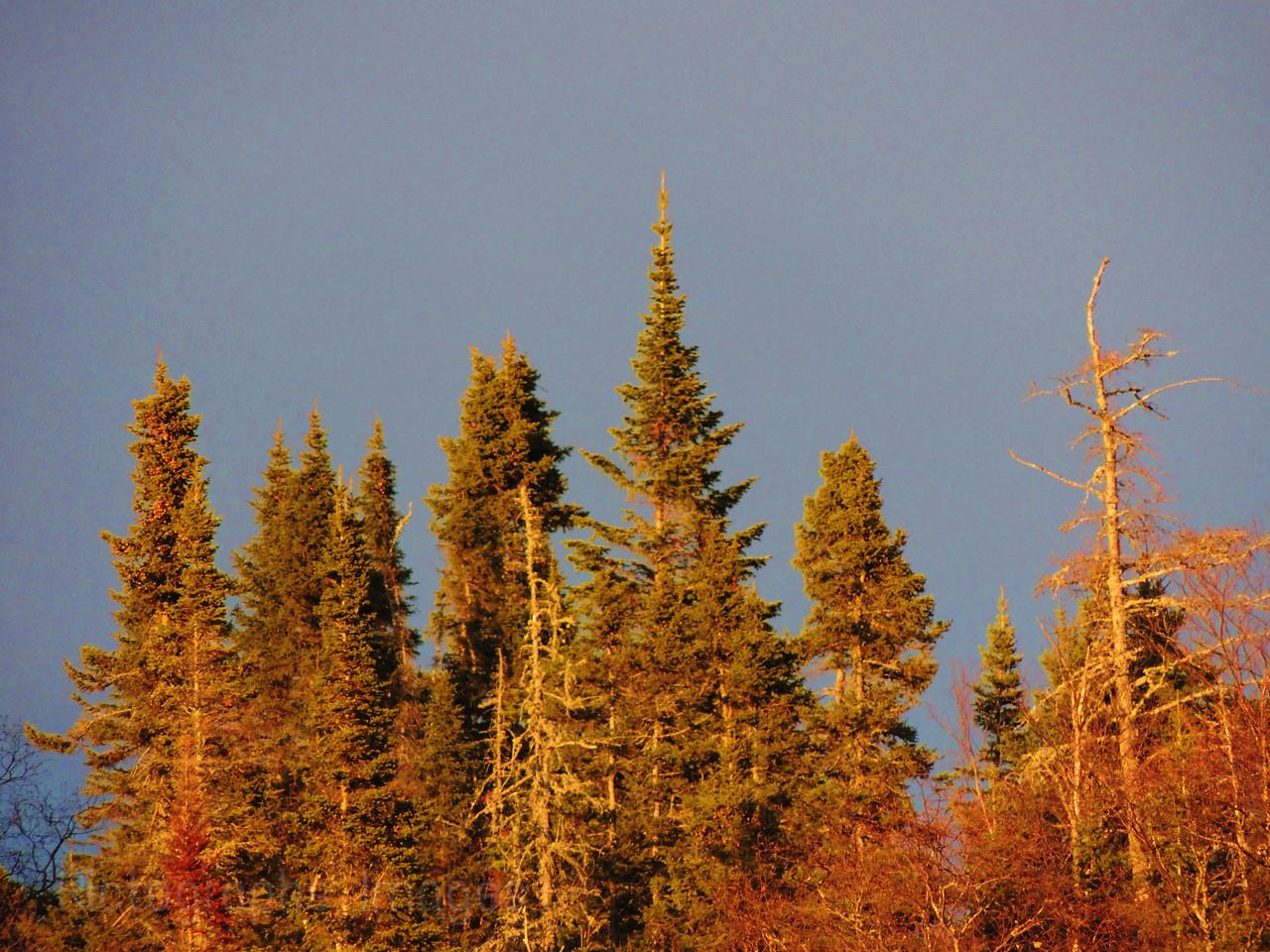 Trees In Golden Light