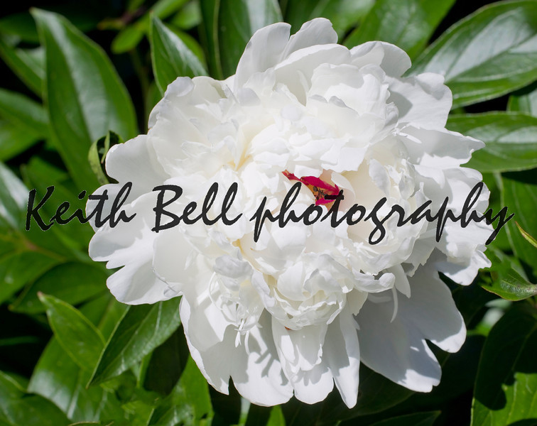 A Beautiful White Peony Flower with an ant in the center