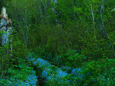 A Path Covered In Forgetmenots