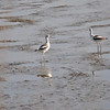 Palo Alto Baylands - A pair of Avocets
