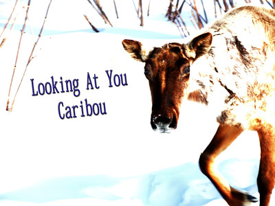 Looking At You Caribou