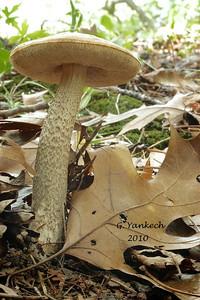 """""""Birch Bolete"""", Leccinum scabrum"""