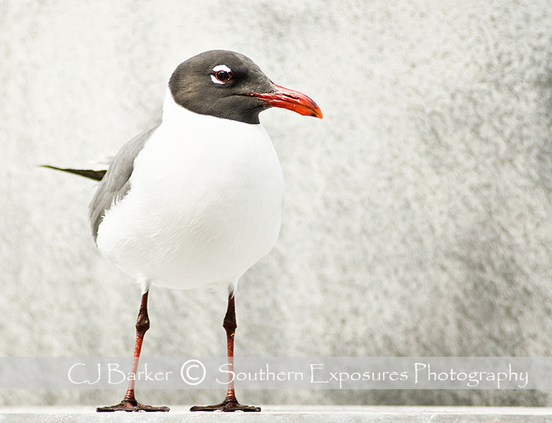 High key seagull