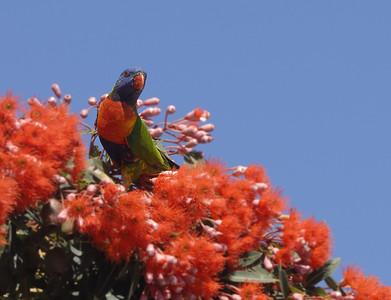 _MCG0158 parrot feeding