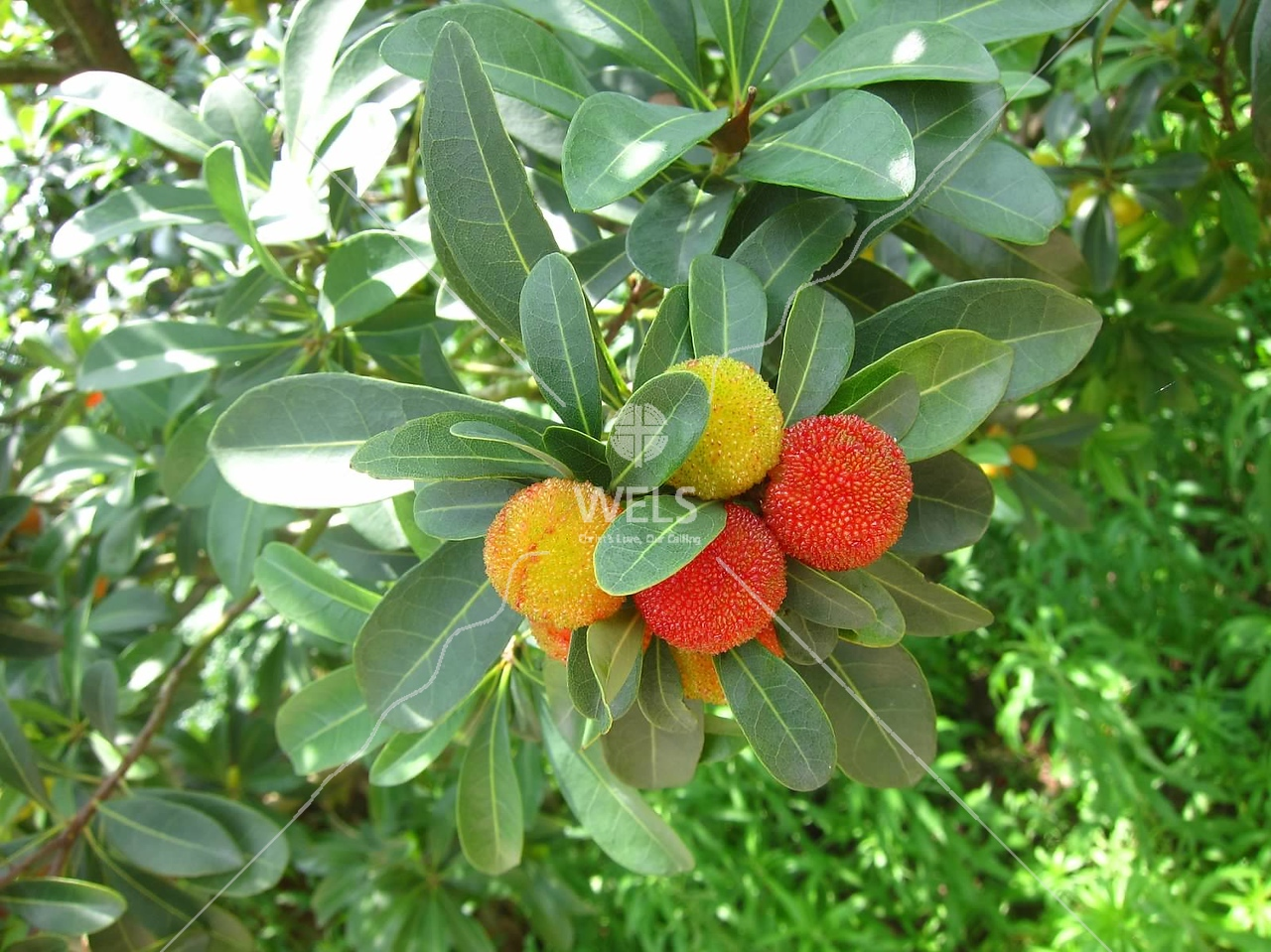 YangMay is the name of this cherry-sized fruit or in English, Bay Berry by kstellick
