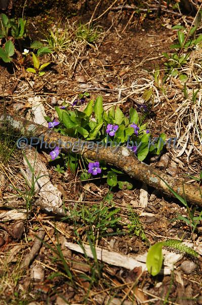 Violets Under the Stick
