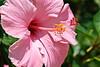 Louisiana hibiscus<br /> April 2009