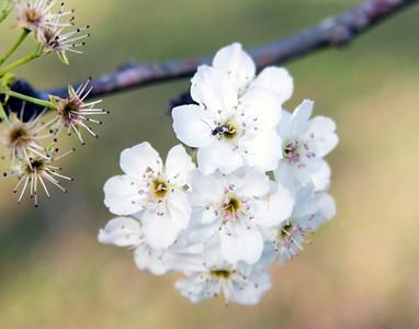 Blossoms in the Felicianas West Feliciana, La. 2009
