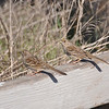 Palo Alto Baylands - Sparrows