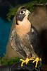 SeaWorld, Peregrine Falcon