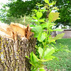 New Life <br /> Recently cut down ash tree in the backyard trying to make a comeback.