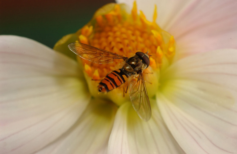 Blomsterflue (© Ragnar Våga Pedersen)