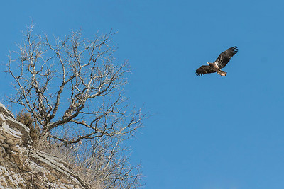 Eagle at the cliffs in Grafton, IL