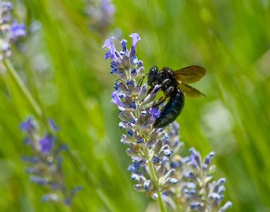 Carpenter Bee & Lupin