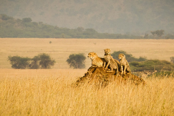 Near the end of our early morning drive, we have amazing luck to see a mother cheetah and her two cubs sunbathing on a termite mound! To put this into perspective, our driver who had been doing safaris for 20 years had only seen 4 cheetah sightings and only lone adults. It was a spectacular morning safari!