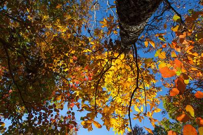 Fall Foliage Canopy
