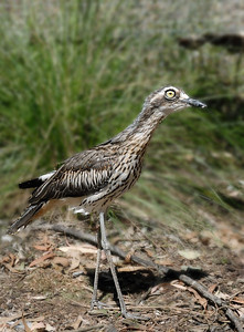 Photographed at Serendipity Sanctuary in Victoria - Bush Stone-curlew (or Bush Thicknee)  Thanks to Barry Lingham Geelong Field Naturalists Club Bird Group for the Identificaltion