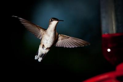 Humming Bird-0850
