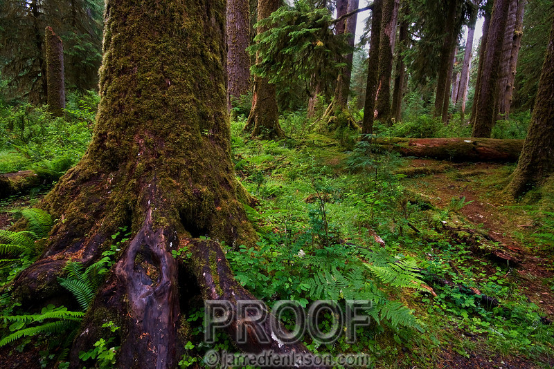Trail Through the Hoh Rainforest
