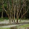 humbolt trees copy