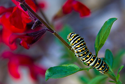 2012 - Bob Jones Nature Center, monarch caterpillar