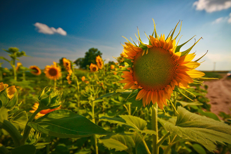 Fields of sunflowers colored the roadsides in Arkansas and brought a healthy dose of cheer to the otherwise brown and dusty roads.