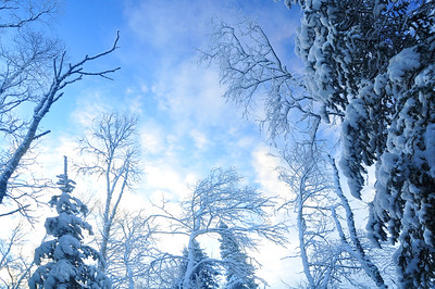 Trees Of The Forest In Winter