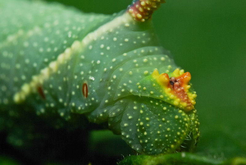 The Moro sphinx caterpillar, large moth. View of his behind.
