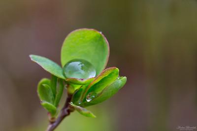Blåbärsris med regndroppar