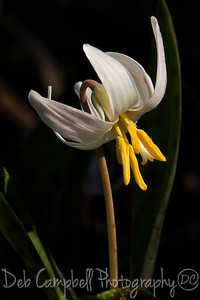 Fawn White Trout Lily