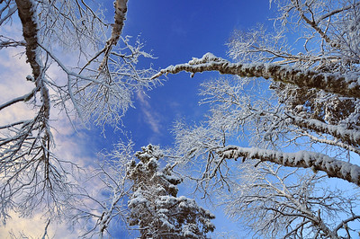Looking Up In The Winter Forest