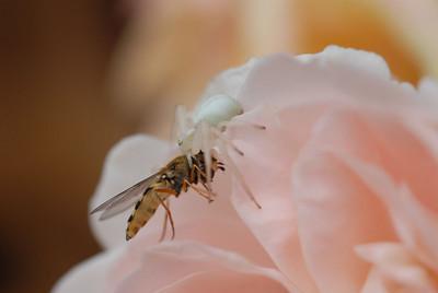 Krabbeedderkopp (© Ragnar Våga Pedersen)