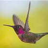 2014_04_Hummingbirds_5869
