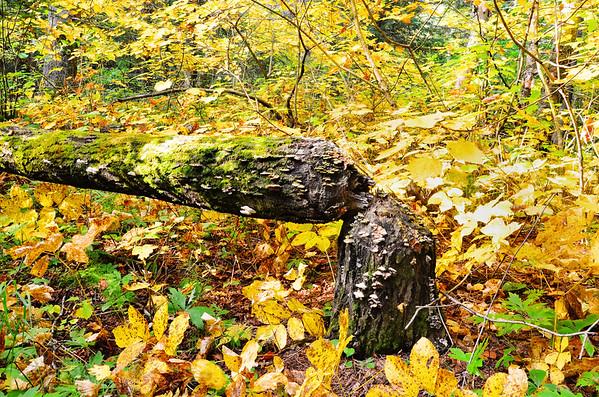 Poplar Log Decomposing