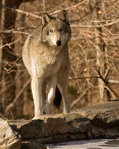 Wolf stare printed 8x10-9475