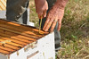 Hive tool being used to loosen the frames from the hive body due to the build up of propolis.