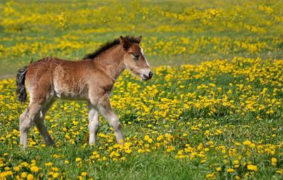 Foal in field surrounded by dandelions