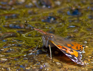 Painted Lady and Puddle