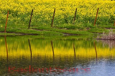 Mustard Reflections, Napa Valley, CA