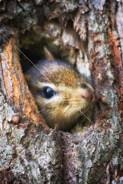 Peek-a-boo Chimpmuck in Tree Hollow by mspriggs