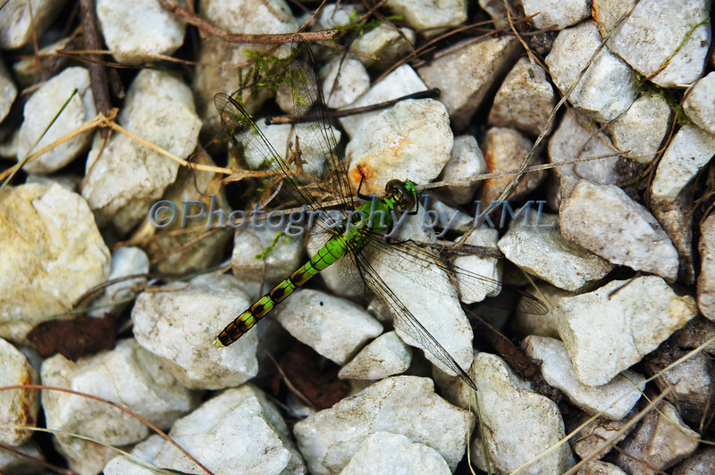 a green dragon fly on a pile of white rocks
