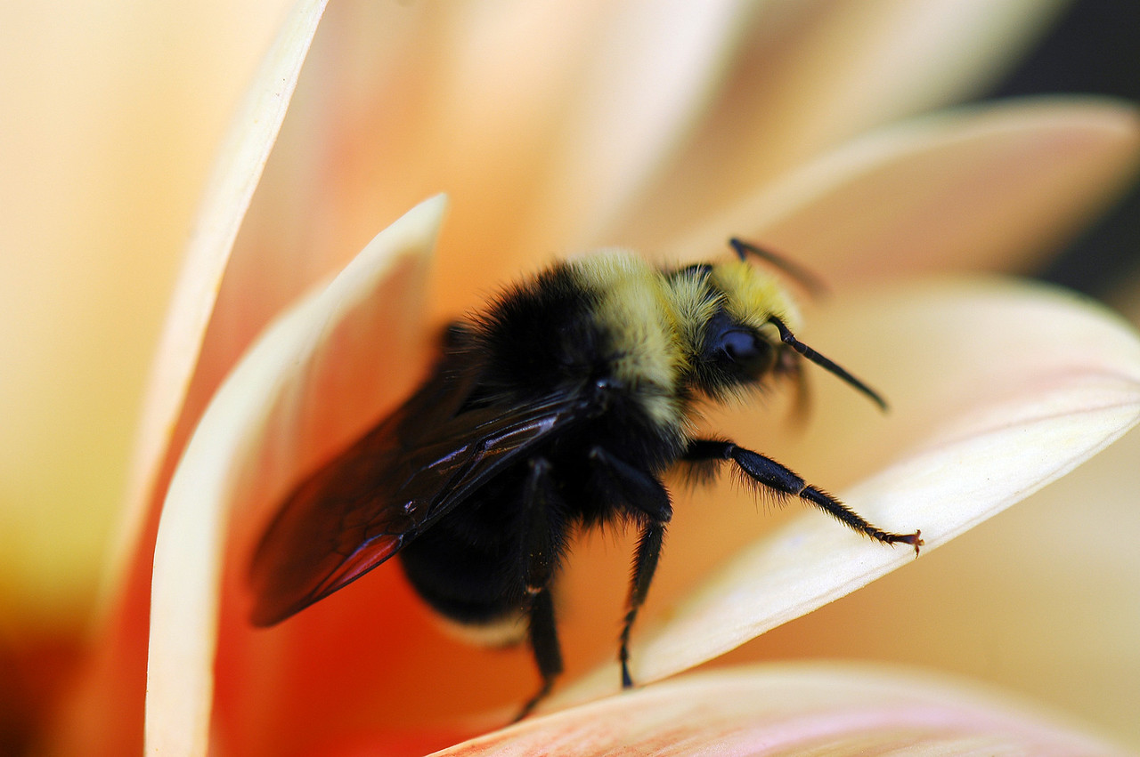 bee on rose, bellevue botanical garden