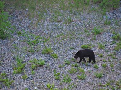 Prowling Black Bear