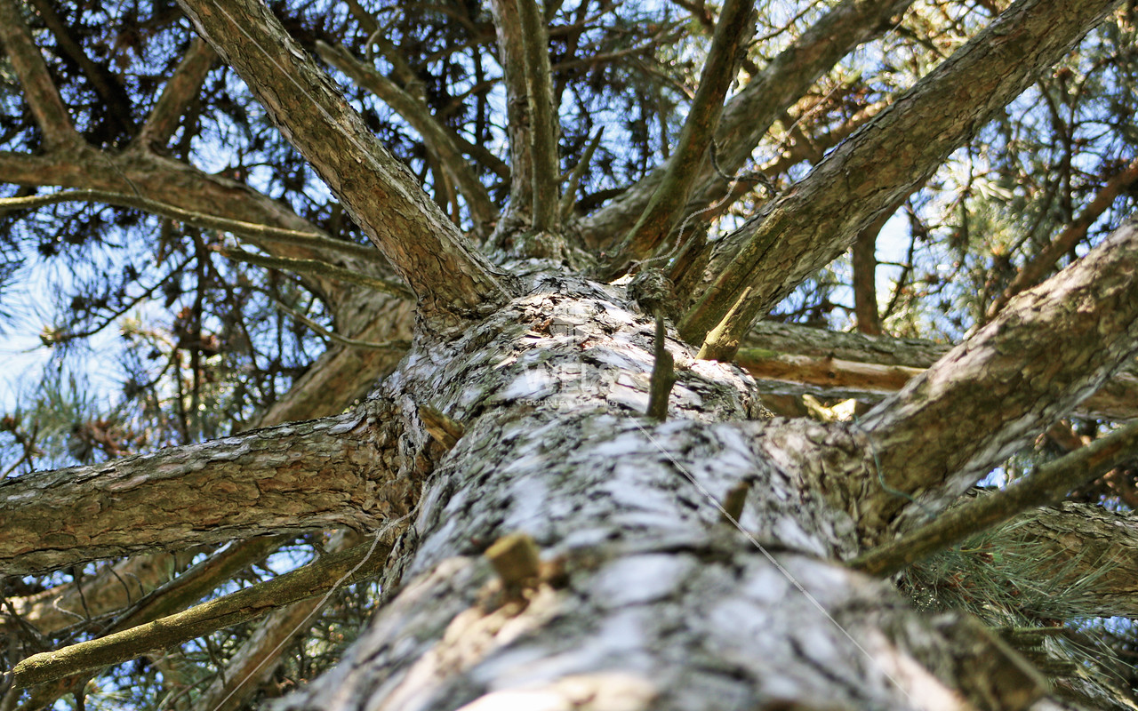 Low Angle Jack Pine by jduran
