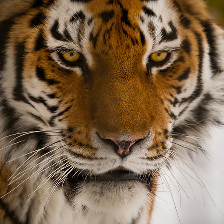 Like this Amur Tiger, I think if you were caged for life, you would not be very amused.