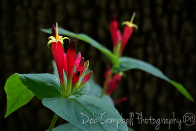 Indian Pink (Spigelia marilandica)