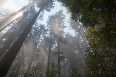 Foggy Redwoods