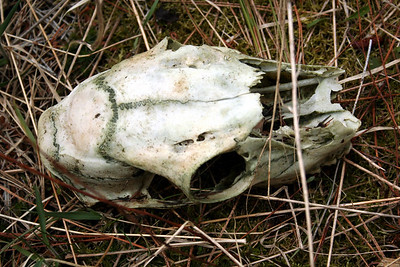 A skull that Patrick found at Farragut. April 2011